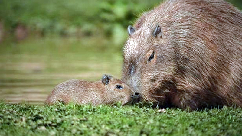 Largest rodent Lily gives birth
