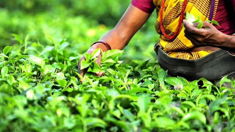 India's tea production at new high in 2016-17