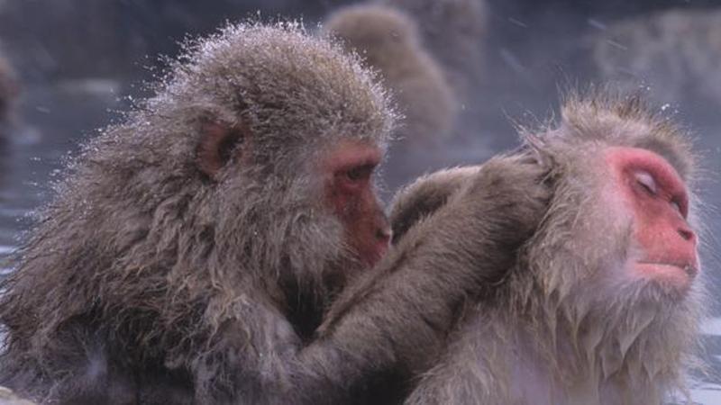 Scratching helps boost social bonding in monkeys