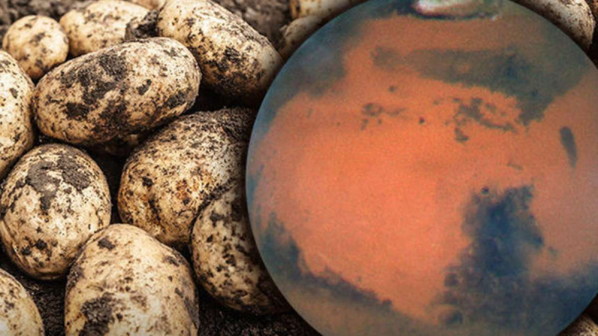 Scientists identify variety of potatoes that can be grown on Mars