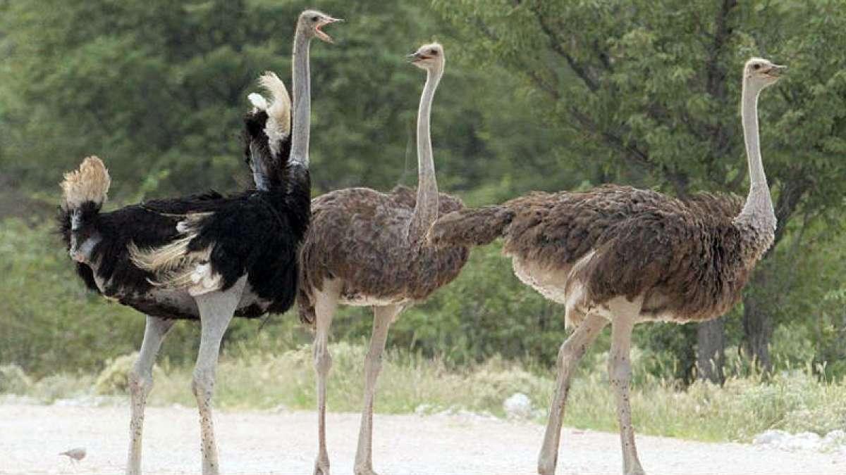 Ostriches were found in India 25,000 years ago
