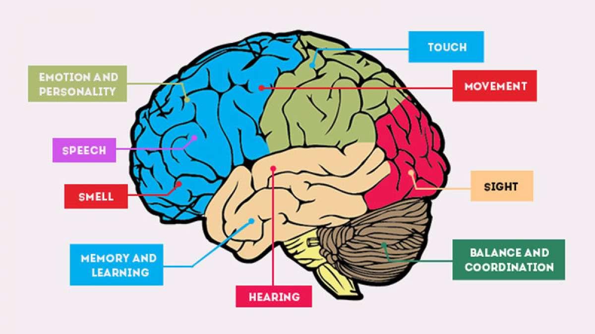 Human Brain decoded