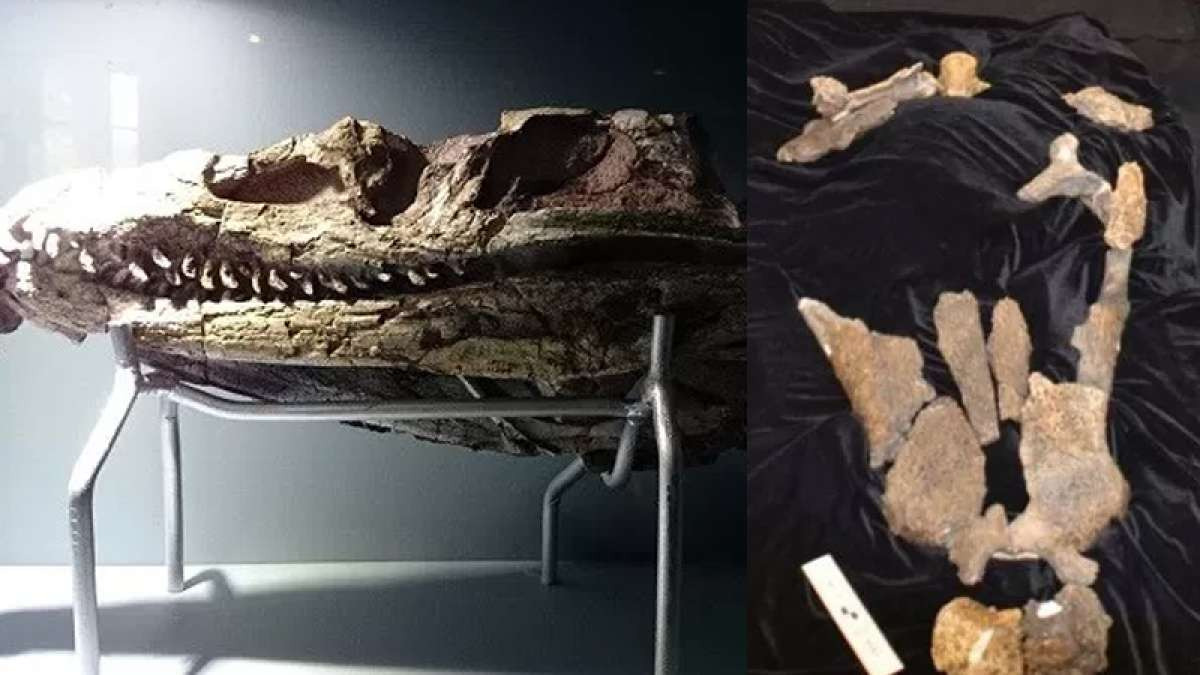New prehistoric dinosaur-eating crocodile species found at fossil site in Texas