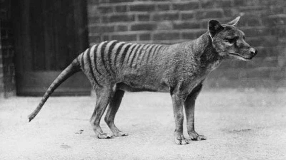 Tasmanian Tiger pup helps scientists in forming genes of extinct species