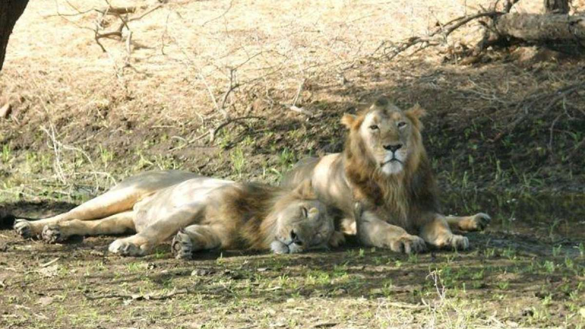 Save the lions! 21 lions found dead in 18 days in Gir