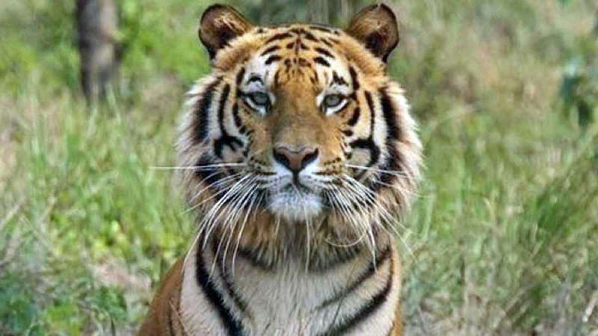 Man-eater tigress Avni shot dead in Maharashtra