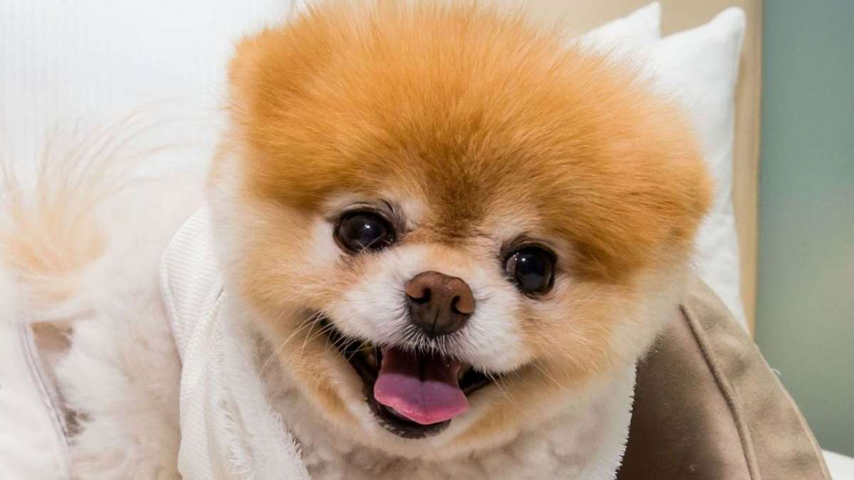 World's cutest dog Boo dies of 'broken heart' at age of 12