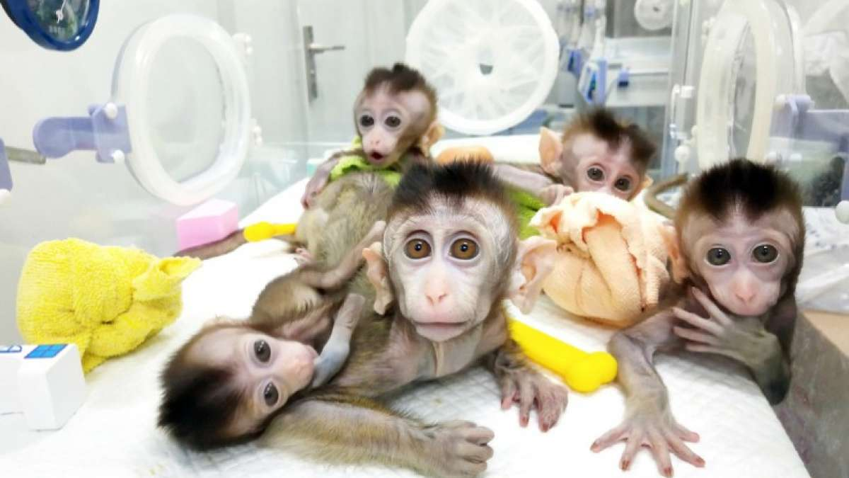For the first time ever, multiple monkeys have been cloned from a gene-edited technology