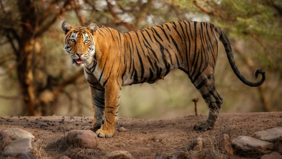 Gujarat sees a tiger after decades, cat hunt on