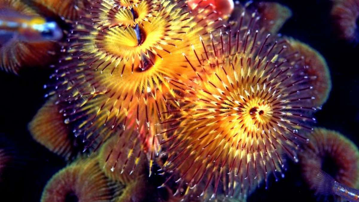 Christmas Tree Worms (Representational image)