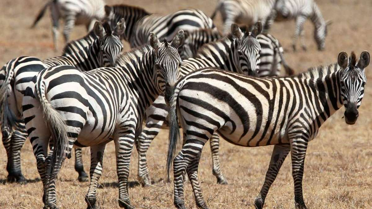 Revealed! Why Zebras have black and white stripes on body