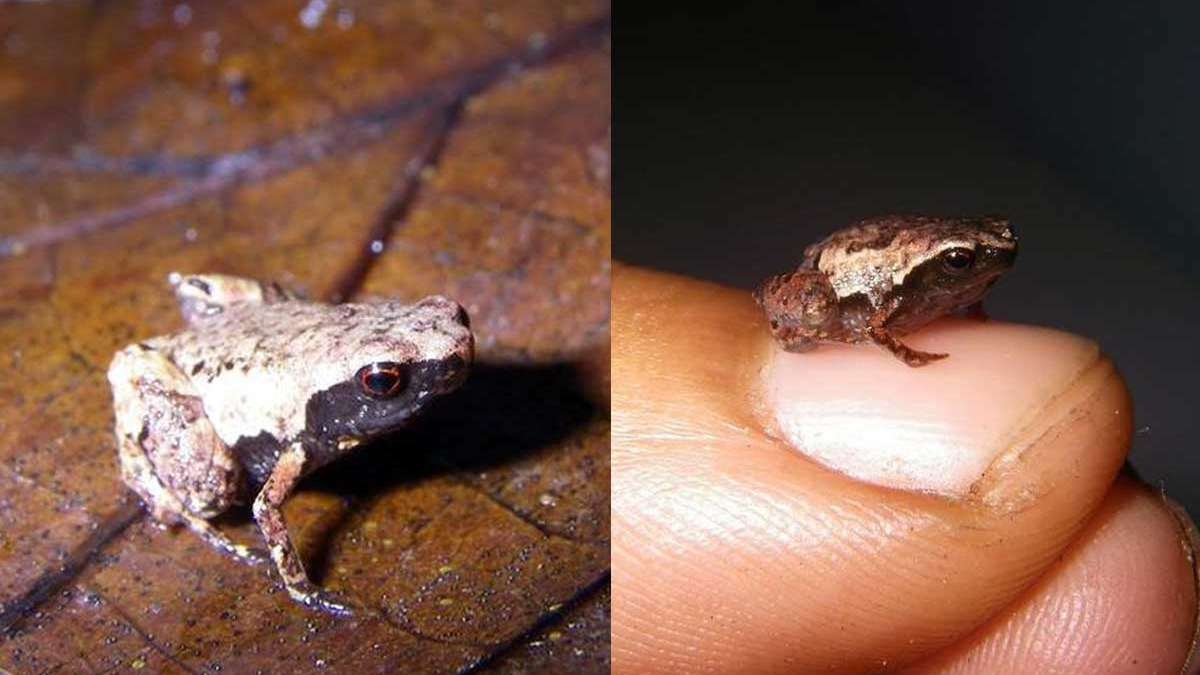 Three mini frog species - tiny than a human nail - found in Madagascar