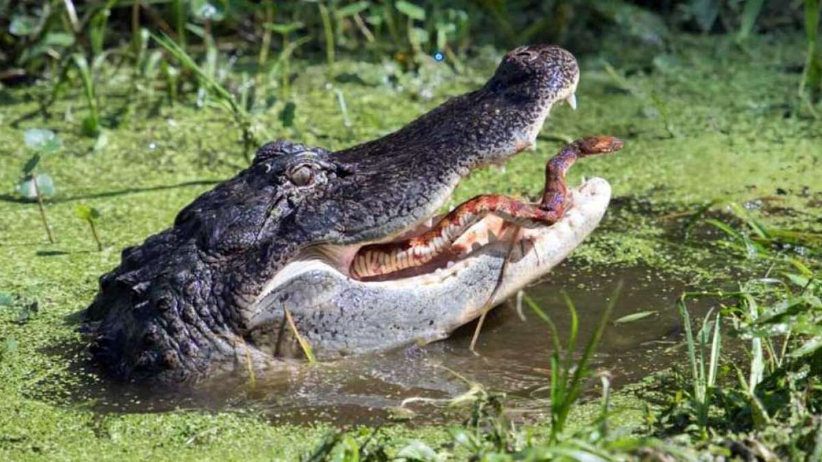 Dramatic pictures of snake escaping from alligator's mouth go viral