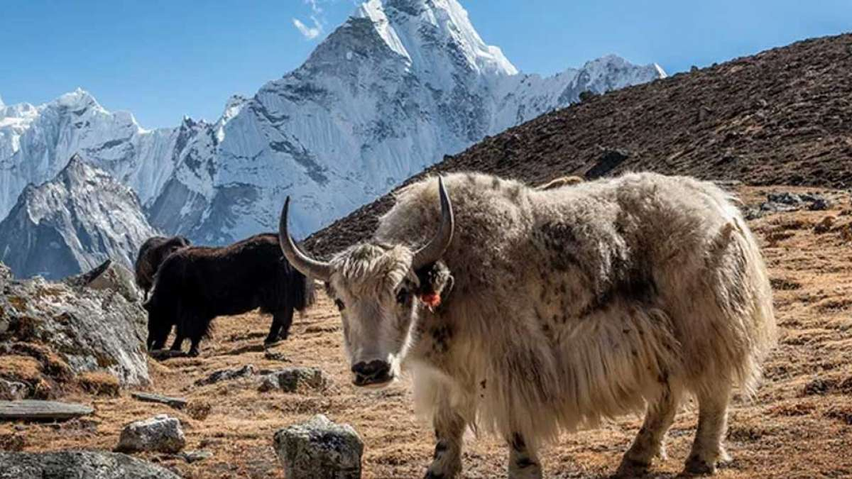 Stranded in snow, 300 yaks starve to death