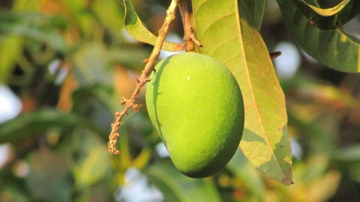 Diabetes: Mango leaves help in reducing blood sugar